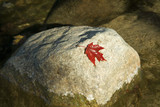 red maple leaf on a boulder poster