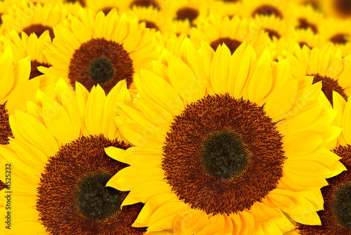 beautiful sunflowers in a sunny day