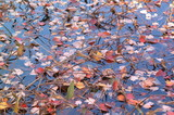 colorful fall leaves in a small pond poster