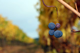 small pinot noir cluster poster