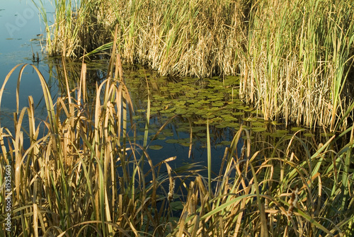 poster of lilly pads in pond with tall grass at sunrise