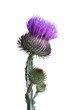 canvas print picture thistle