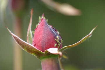 aphids on a rose bud
