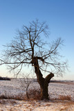 alone tree on winter countryside poster