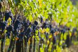 lush ripe wine grapes on the vipe poster