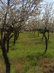 mandelbäume in blüte