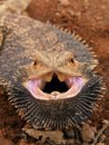 angry bearded dragon poster