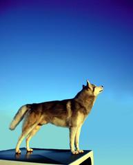 husky debout