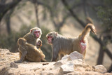 monkeys in new delhi poster