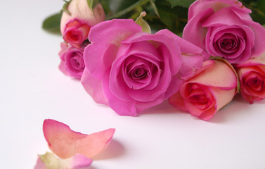 purple & pink roses and petals