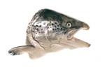 Fototapety poisson