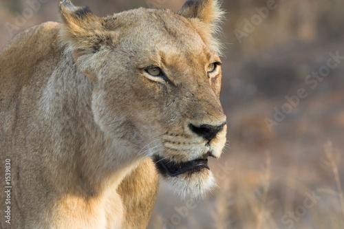 Fotobehang Leeuw lioness