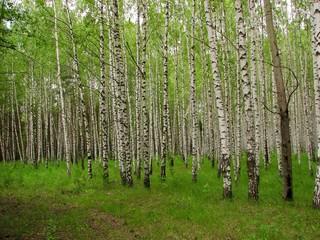 birch forest-2