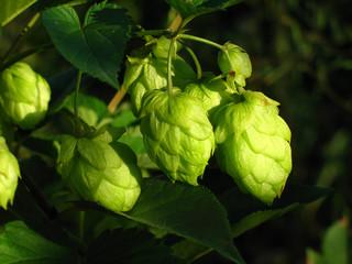 branch of hop.