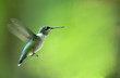 canvas print picture - hummingbird