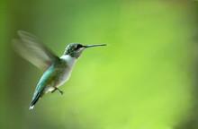 """Постер, картина, фотообои """"hummingbird"""""""