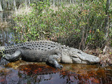fat alligator poster