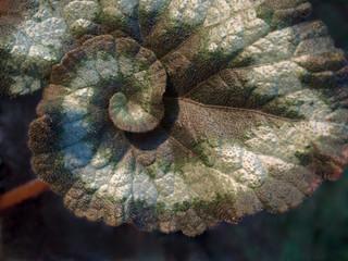 escargot begonia, single leaf