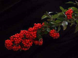exuberant firethorn ( pyracantha ) berries
