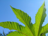 sunny green leaf poster