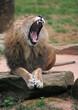 zoolöwe, gelangweilt gähnend (14)