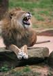 zoolöwe, gelangweilt gähnend (15)