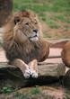 zoolöwe, gelangweilt gähnend (10)