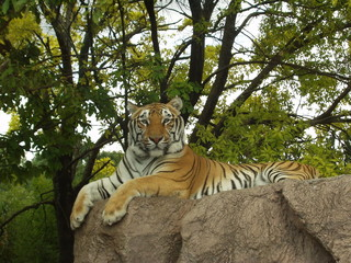 tiger in captivity