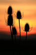 roleta: sonnenuntergang hinter disteln