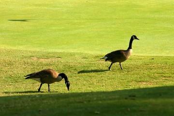 ducks on course