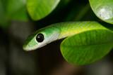 green bush snake poster