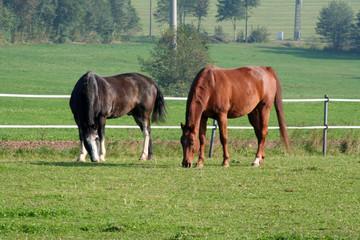 zwei westernpferde auf der koppel.