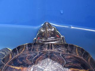 red-eared slider turtle on blue