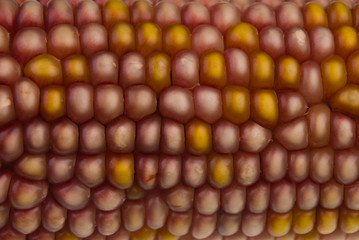 autumn corn detail