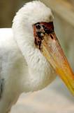 yellowbilled stork mycteria ibis poster