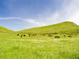 cows on a pasture poster