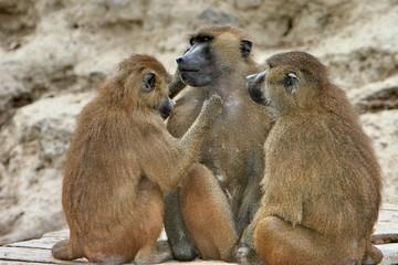 trio de babouins