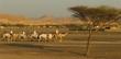camel caravan in the evening