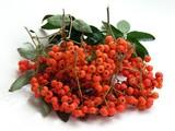 the rowan bunch with red rowan-berries poster