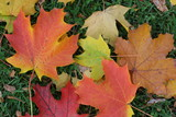 maple leaves on the ground poster