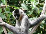 white cheeked monkey poster