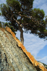 pine on the littoral rock