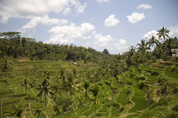 ricefield 1