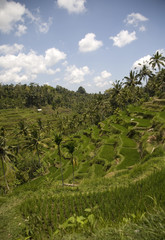 ricefield 2