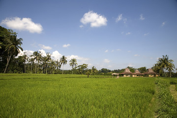 ricefield 3