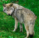 young gray wolf poster