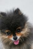 pekinese dog poster