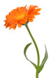 canvas print picture calendula