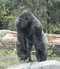 gorilla27
