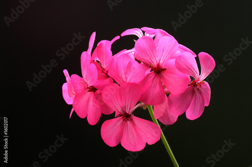canvas print picture geranium